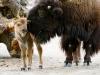 pa_bison2